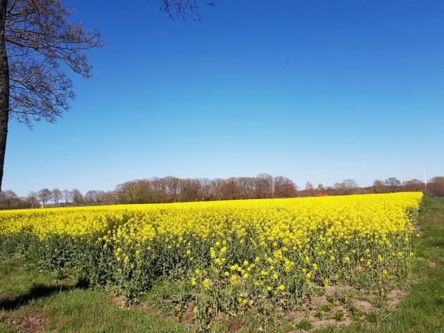 Rapeseed field in full bloom