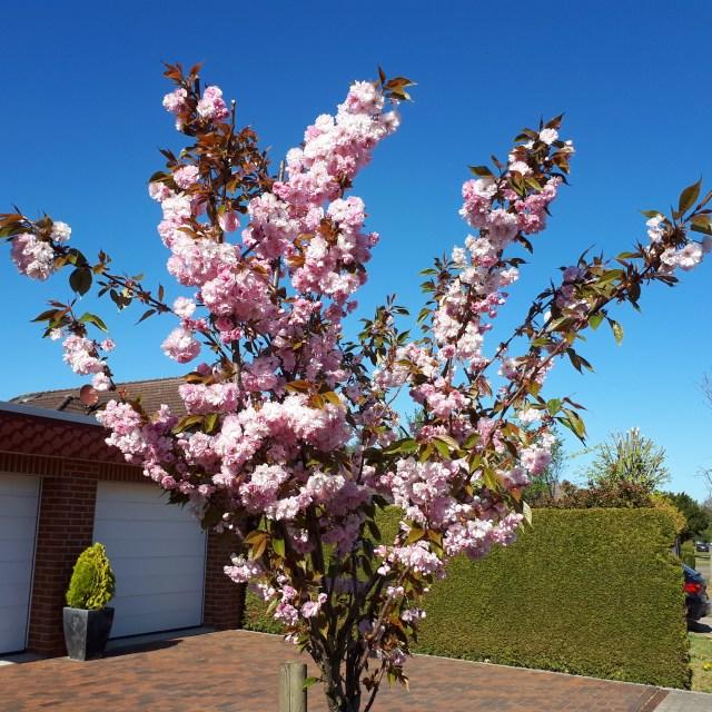 Ornamental cherry tree
