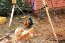 Chickens under the laser level
