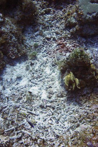 Coral Die Off 1