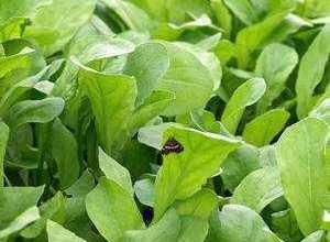 Photo of Руккола салат польза и вред