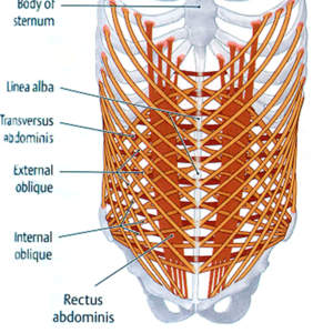 diagram of rib cage and muscles 2003 vw jetta wiring between the pelvis ribcage abdominal