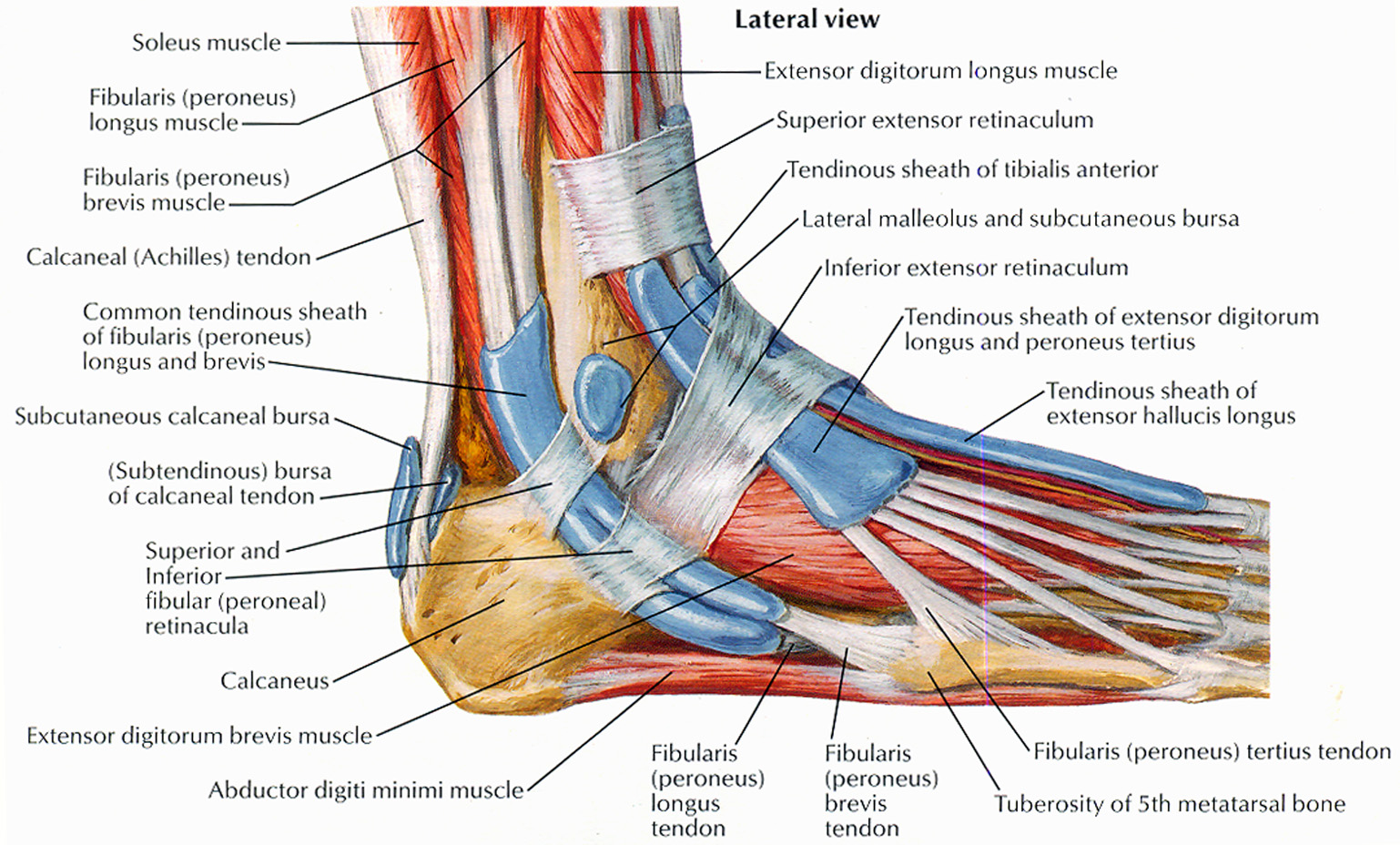 Muscles That Lift The Arches Of The Feet