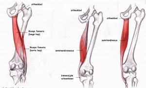 hip joint diagram soft and woody stem why do people have tight hamstrings?