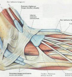 ankle tendon diagram [ 1277 x 794 Pixel ]