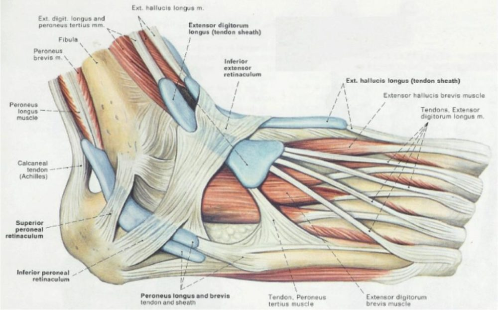 medium resolution of ankle tendon diagram