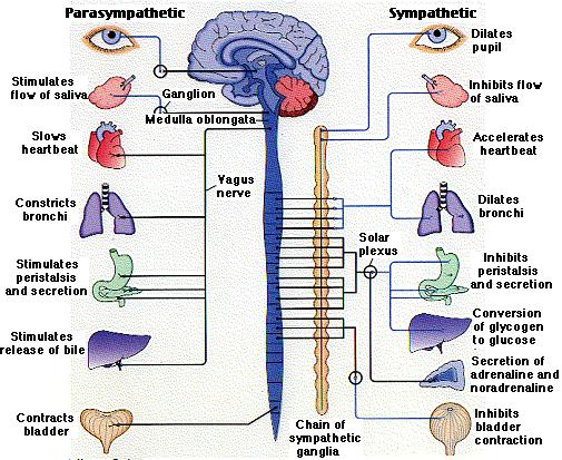 vagus nerve diagram holden colorado stereo wiring the image