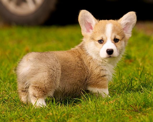 getting a corgi puppy