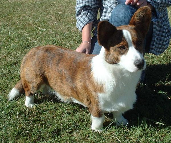 Cardigan Welsh Corgi Training
