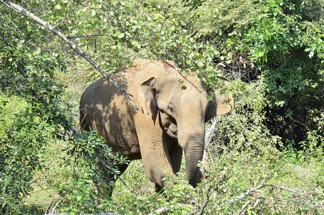 Sri Lanka: elefanții și balenele, cele mai mari mamifere ale lumii (partea a II-a)