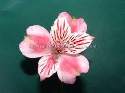 floarea-prieteniei