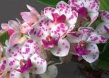 orhidee-24-februarie1