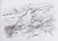 Apr16_scribble drawing_houtduif op nest