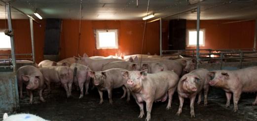 élevage de porc de Jean-luc Pécheux