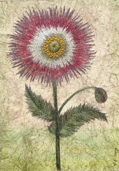 Hartwort (Papaver, Basilius Besler) - Yorkshire Arboretum 2017