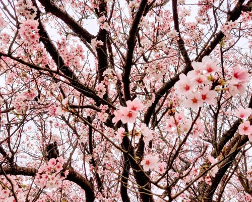 Cherry Blossom Season in Taipei
