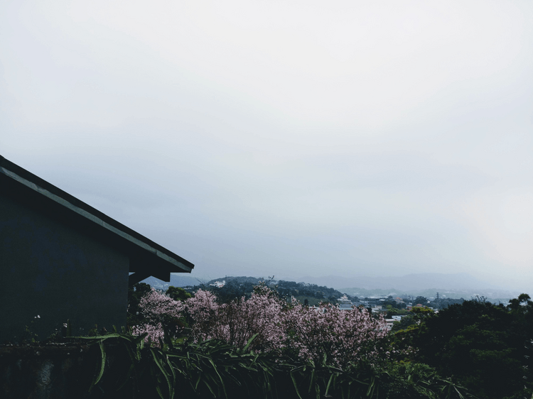 Cherry Blossoms in Taipei