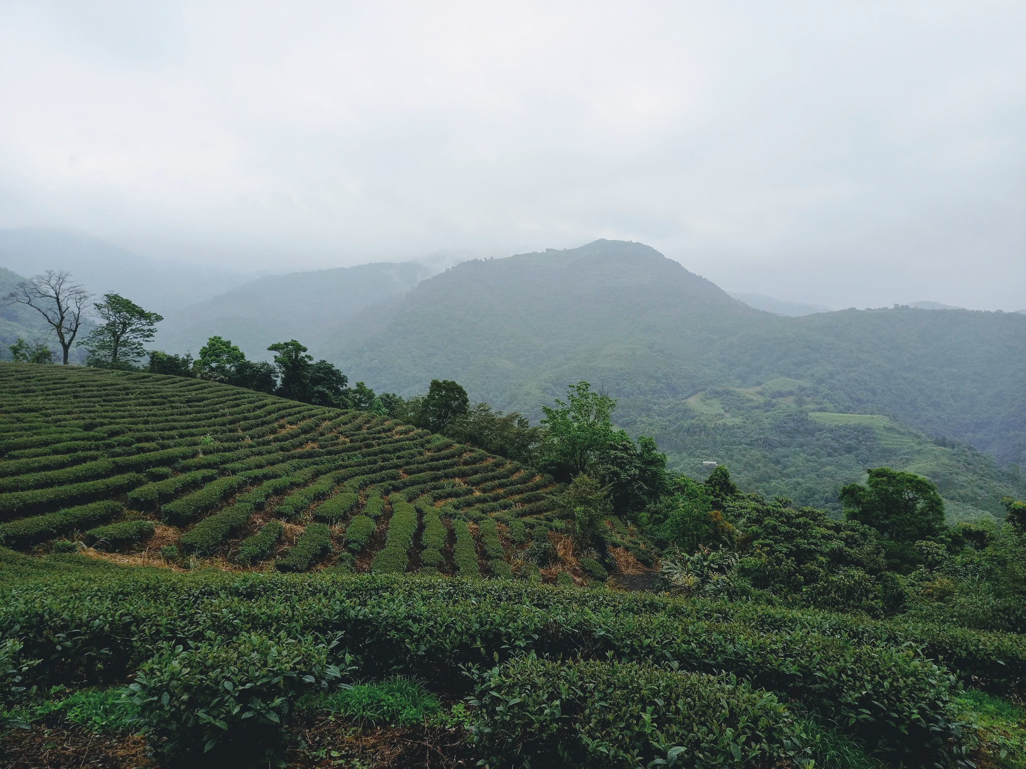 Beautiful rolling tea fields next to the campground.