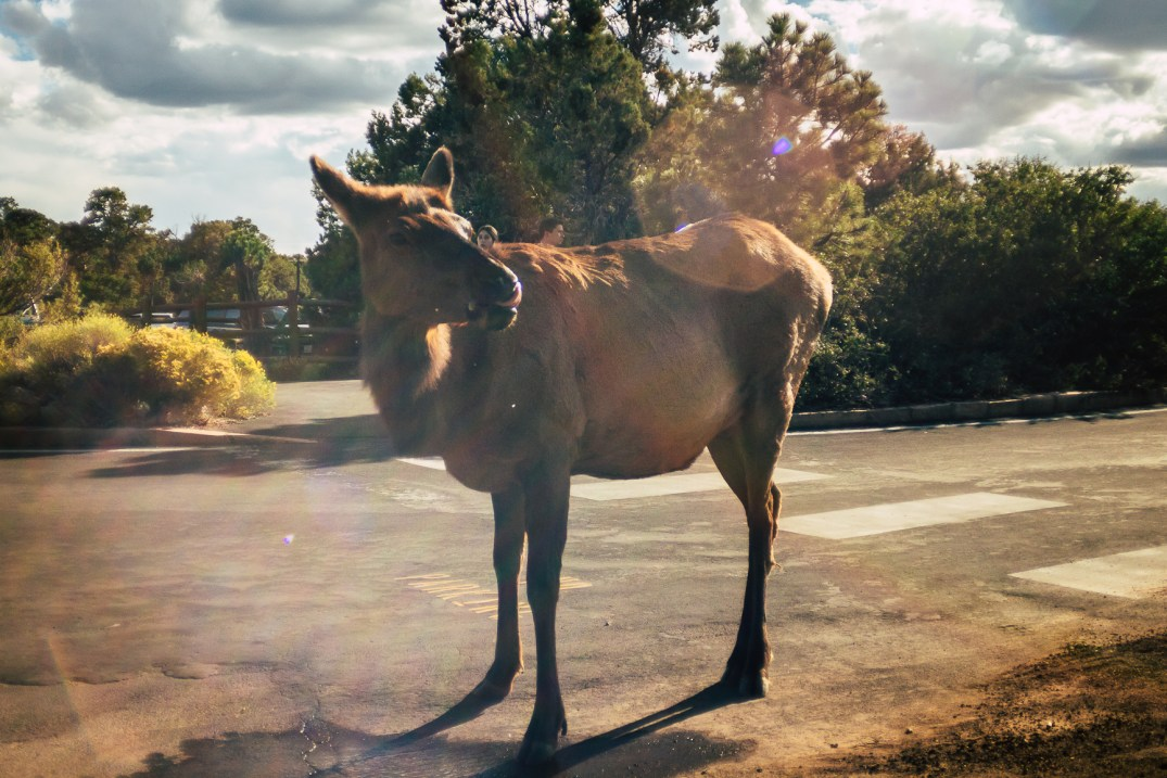 An elk drinking from a puddle in the road at the Grand Canyon