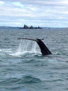 Humpback whale off the Stags on a whale watching trip in West Cork