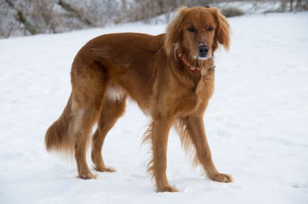 Huckleberry Finn is one of the purebred dogs in the study