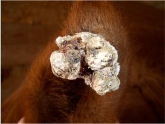 Sarcoid tumor on a horse's ear