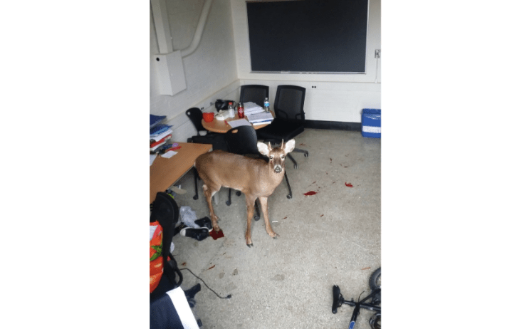 The male deer died in Room B21 after grunting and struggling with a state environmental conservation officer and two animal control employees as they attempted to calm and restrain the deer so it could be treated for its injuries.