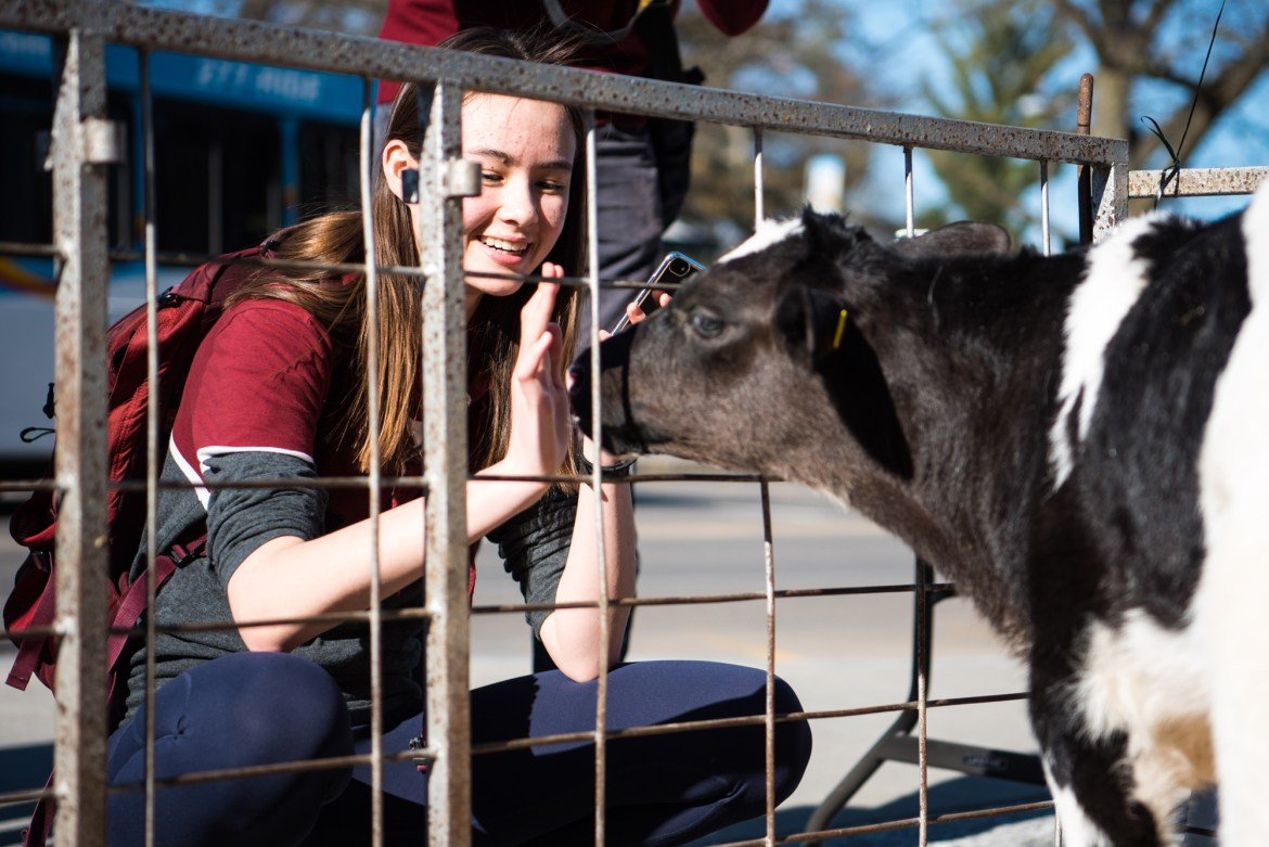 Students get to pet the calves and taste the Cornell-made ice cream during the annual Dairy Day.