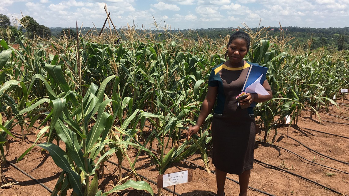2018 Cornell Alliance for Science Global Leadership Fellow Winnie Nanteza works on genetically modified corn at a research facility in Uganda.