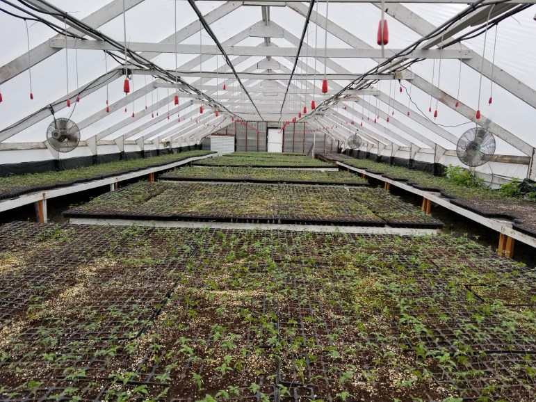 Seedlings begin their growth cycle inside greenhouses at Larchwood Farms in Caroline, New York.