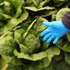The Centers for Disease Control and Prevention suspects that contaminated lettuce is linked to a recent E. coli outbreak.