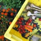 Springtime CSA harvest. (Brianna Johnson / Sun Contributor)