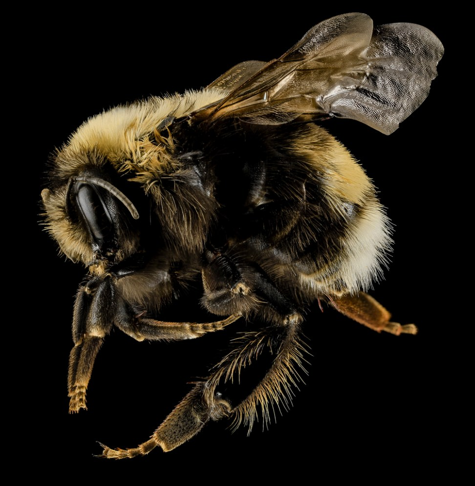 Bombus occidentalis. Female. Utah, United States of America. Source: USGS Bee Inventory.