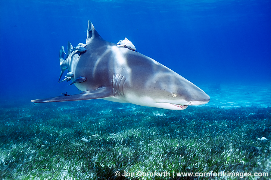lemon shark 10