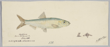 A 19th c. drawing of a little pilchard