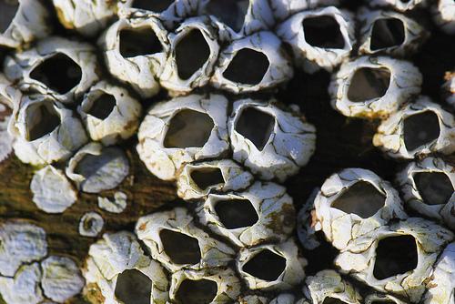 barnacles photo