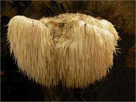 the lions mane mushroom herb aka hericium erinaceus