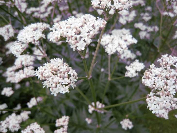 valerian-plant