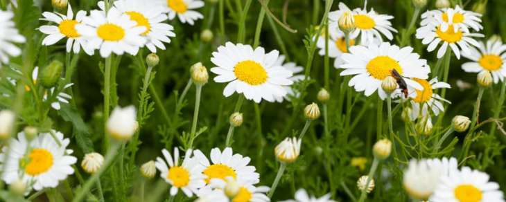 Natural Remedies For Anxiety Chamomile