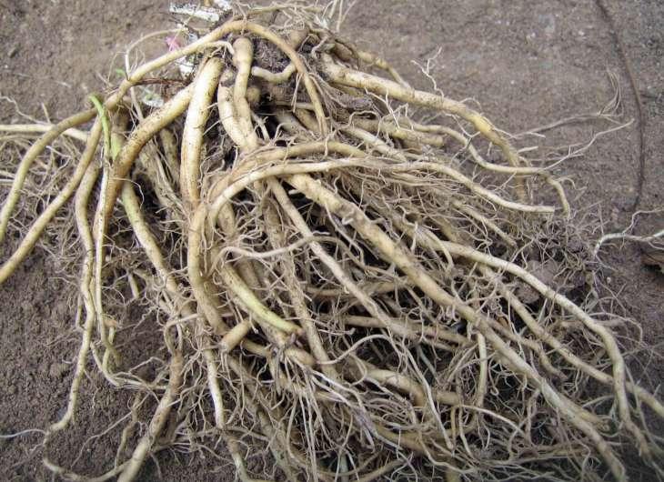 valerian-root-harvest