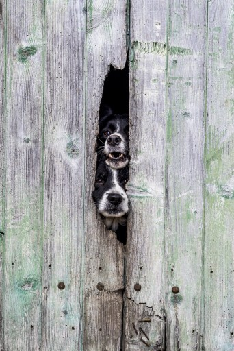Deux chiens qui regardent à travers une barrière
