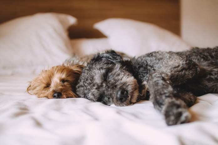 Deux chiens qui dorment sur un lit