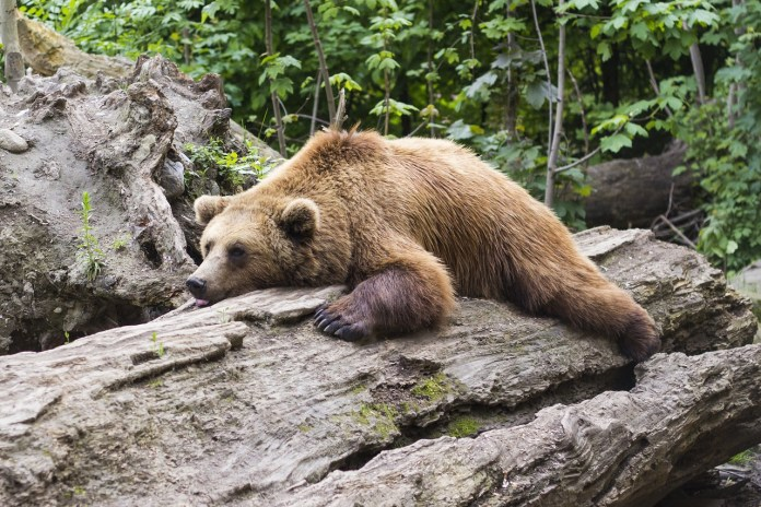 Ours qui dort sur un tronc d'arbre