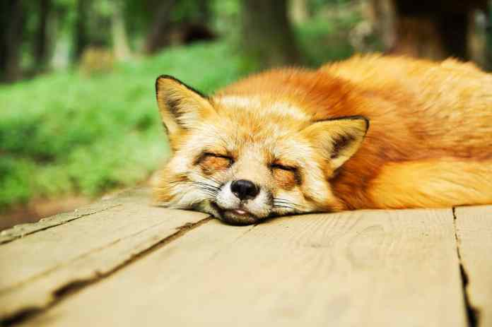 Renard qui dort