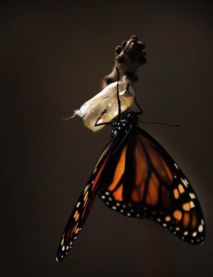Papillon qui sort du cocon