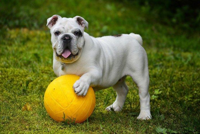 Chien qui joue à la balle