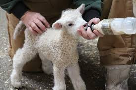 bottle fed lamb