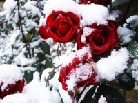 roses in snow