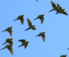 parakeets flying