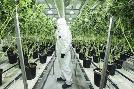 Anvisa reconhece a Maconha como planta medicinal